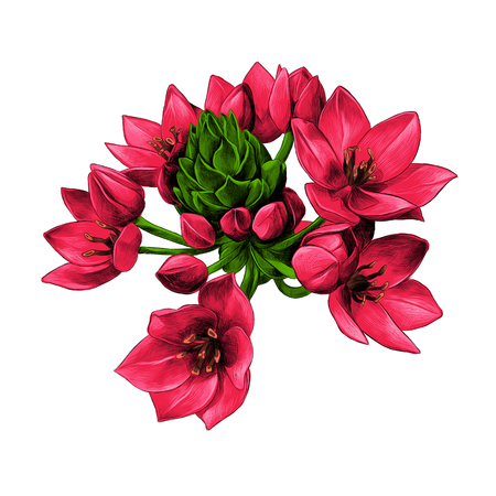 agave red flowers buds sketch vector graphics color picture Stock Vector - 79879777