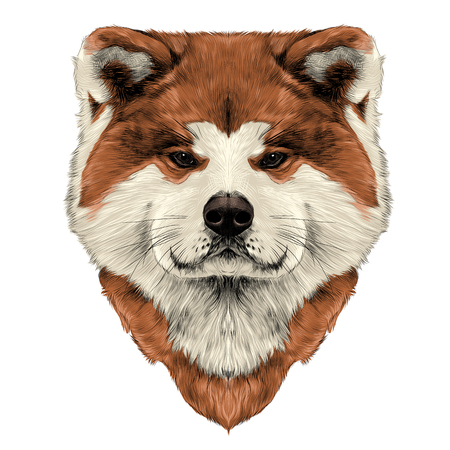 Muzzle dog breed Akita inu, full face looking forward symmetrically, sketch vector graphics color picture