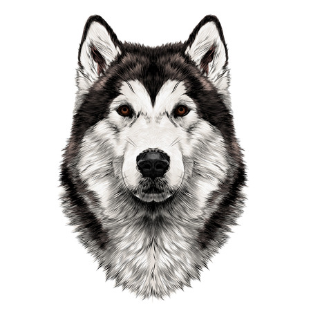Dog breed Alaskan Malamute head symmetry looks right sketch vector graphics color picture Stock Vector - 80266278