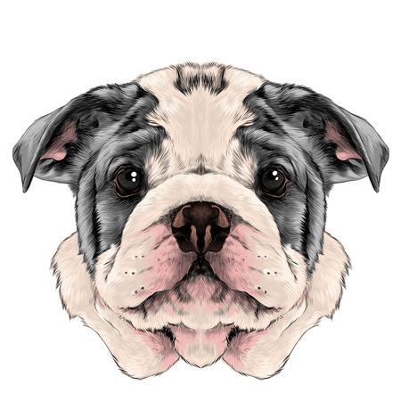 dog breed American bulldog head with white and gray color, sketch vector graphics color picture