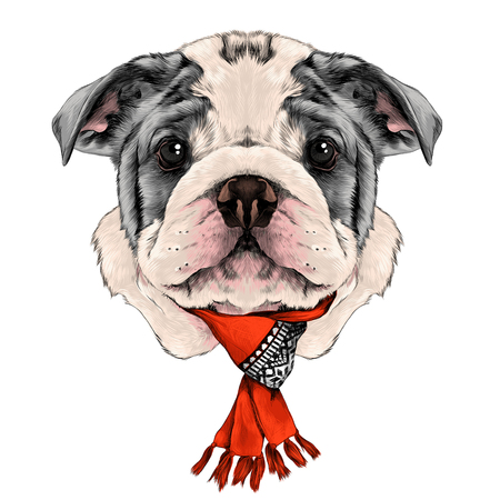 dog: dog breed American bulldog head with white and gray color with a Christmas scarf on the neck, sketch vector graphics color picture