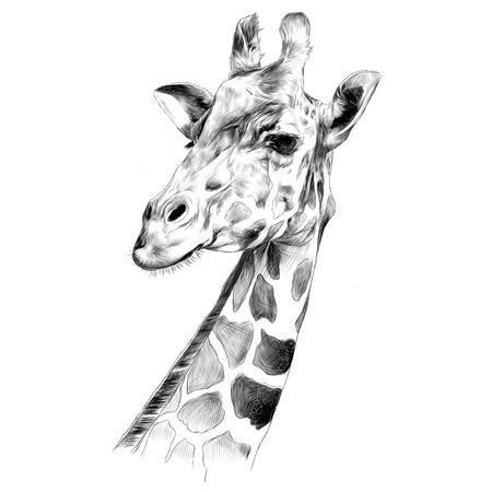 Der Kopf einer Giraffe skizzieren Vektorgrafiken Schwarz-Weiß-Zeichnung Standard-Bild - 80713586