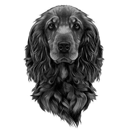 dog breed Cocker Spaniel muzzle, sketch vector graphics color picture Illustration