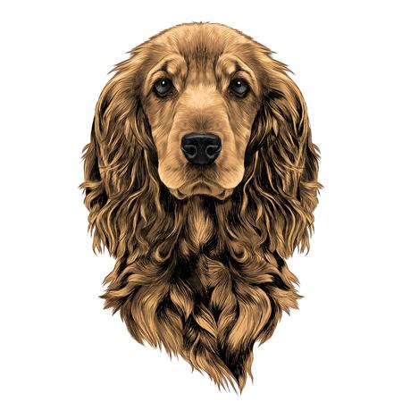 dog breed Cocker Spaniel muzzle, sketch vector graphics color picture Illustration