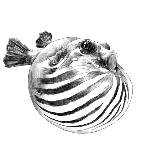 A fish arothron bubble inflated sketch vector graphics black and white drawing.
