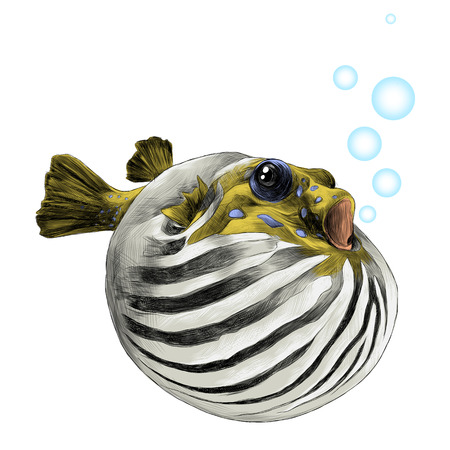 A fish arothron bubble inflated sketch vector graphics color picture.