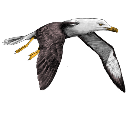 Seagull Albatross bird in flight with open wings sketch vector graphics color picture