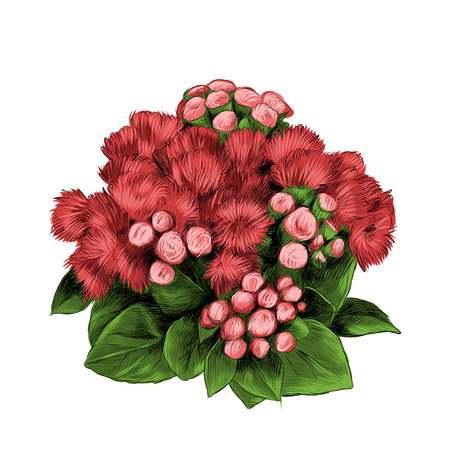 The flower Bush bouquet ageratum sketch vector graphics color picture. 向量圖像