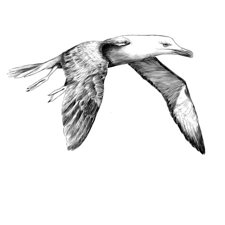 Seagull Albatross bird in flight with open wings sketch vector graphics black and white drawing