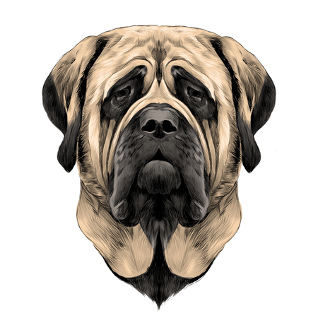 head dog breed Mastiff, sketch vector graphics color picture