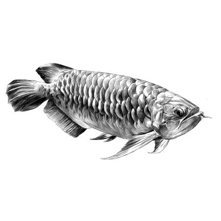 Pesce Aruana nuota lateralmente schizzo grafica vettoriale disegno in bianco e nero Archivio Fotografico - 80874532