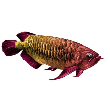 aruana 물고기 옆으로 스케치 벡터 그래픽 컬러 그림 수영 일러스트
