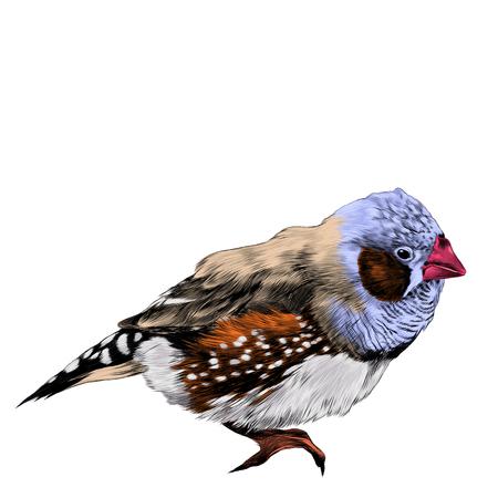 bird amadina sketch vector graphics color figure colorful feathers purple, beige, orange