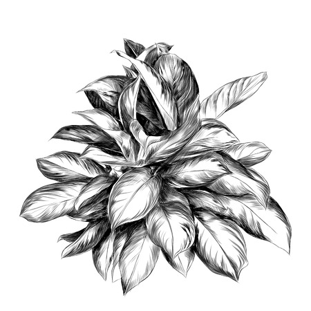 An aglaonema flower sketch vector graphics black and white drawing Illustration