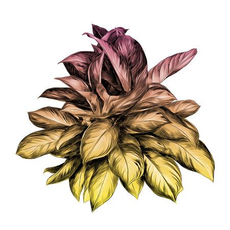 aglaonema flower sketch vector graphics colored drawing gradient orange, pink, yellow