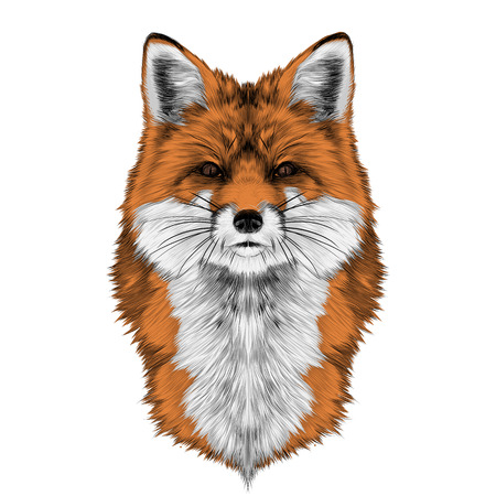 Fox head front looking directly sketch vector graphics color picture