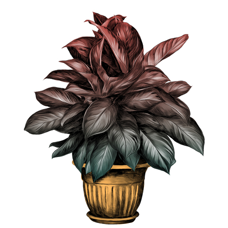 the flower pot aglaonema sketch vector graphics colored drawing gradient turquoise, green, red and beige pot