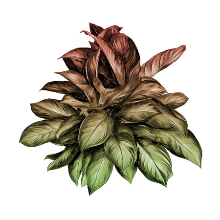 Aglaonema flower sketch vector graphics illustration color gradient red, green, yellow