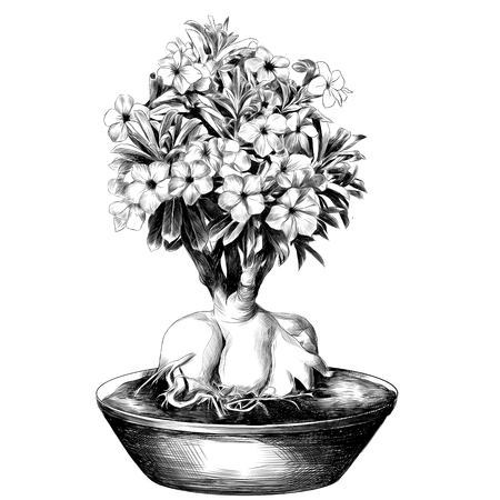 flower tree adenium desert rose in a pot sketch vector graphics black and white drawing Ilustração