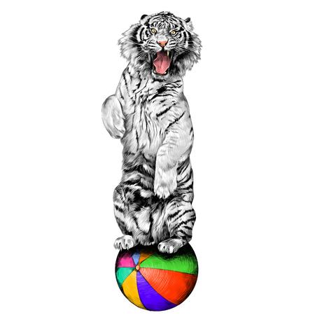 Tigre bianca in piedi sulle zampe posteriori con bocca aperta al circo su un palloncino d'aria calda schizzo vettore grafica immagine a colori Archivio Fotografico - 81227941