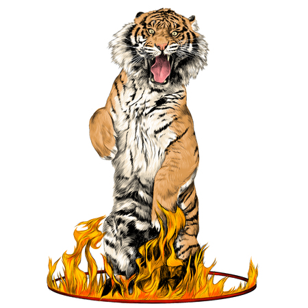 tiger full-length is on its hind legs in a circus ring of fire sketch vector graphics color picture Illustration