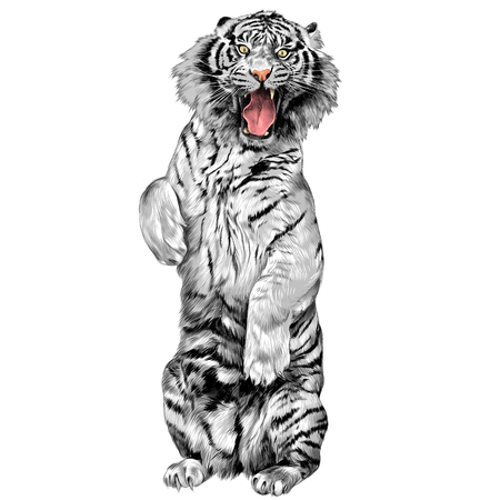 white tiger standing on hind legs with open mouth sketch vector graphics color picture 向量圖像