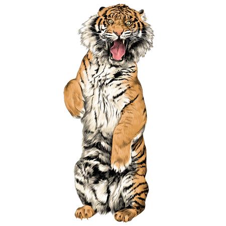 口を開けてスケッチ ベクトル グラフィック カラー画像と後ろ足で立っている虎