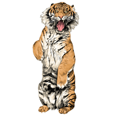 the tiger stands on hind legs with open mouth sketch vector graphics color picture