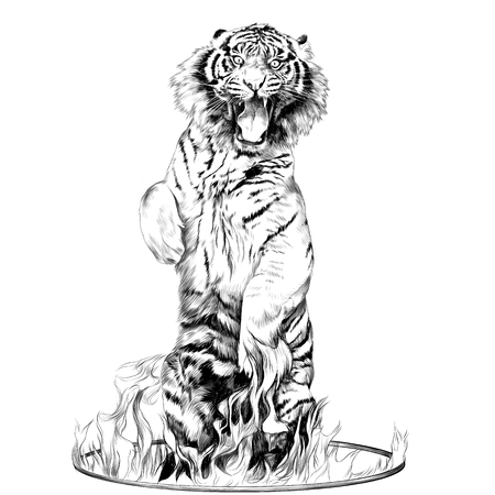 tiger full-length is on its hind legs in a circus ring of fire sketch vector graphics black and white drawing