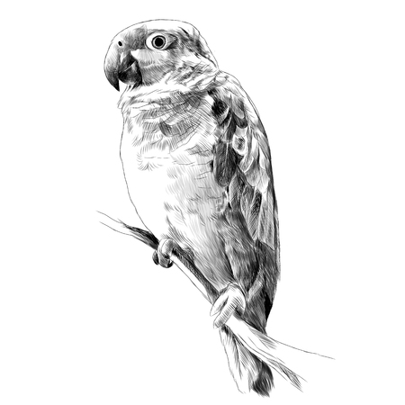 Amazon parrot sitting on the branch of a tree sketch vector graphics black and white drawing