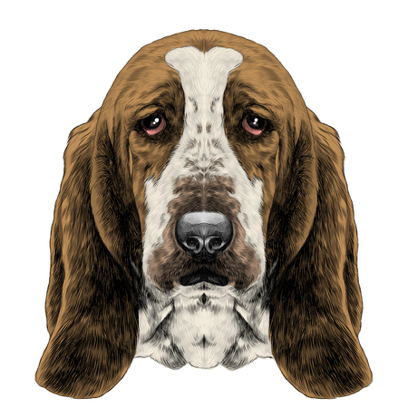 개 머리, 긴 귀와 바셋 하운드 품종, 벡터 그래픽을 스케치 컬러 사진