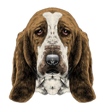 La testa del cane, razza Basset hound con le orecchie lunghe, schizzo immagine grafica vettoriale a colori Archivio Fotografico - 82671412