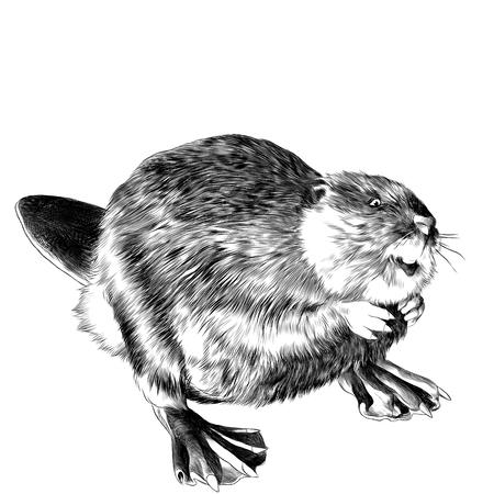 Castoro si trova sulle sue zampe posteriori sketch grafica vettoriale disegno in bianco e nero Archivio Fotografico - 82986214