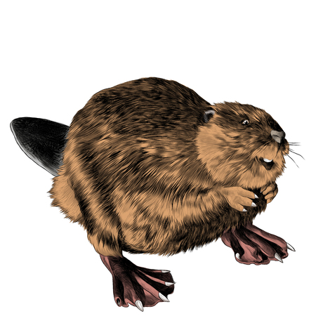 beaver stands on its hind legs sketch vector graphics color picture Ilustracja