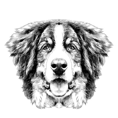 the dog head is symmetrical front the Bernese mountain dog sketch vector black and white drawing