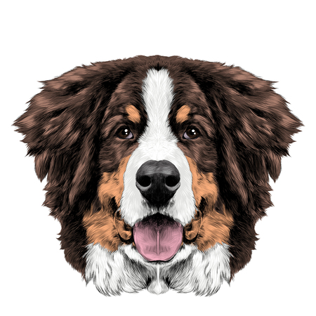 the dog head is symmetrical front the Bernese mountain dog sketch vector color drawing Çizim