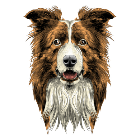 dog head breed border collie sketch vector graphics colored drawing