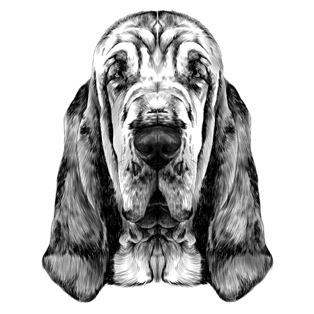개 품종의 머리 Bloodhound 벡터 그래픽 스케치 흑백