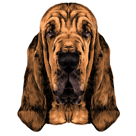 The head of the Bloodhound vector graphics colored sketch