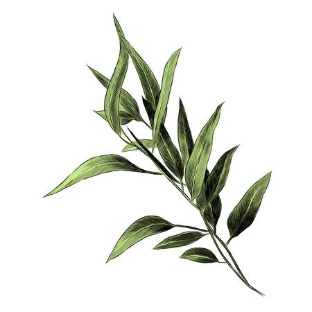 Eucalyptus leaves sketch graphics illustration. Illustration