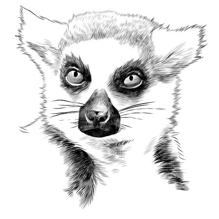 Lemur head sketch graphics illustration. 版權商用圖片 - 91602457