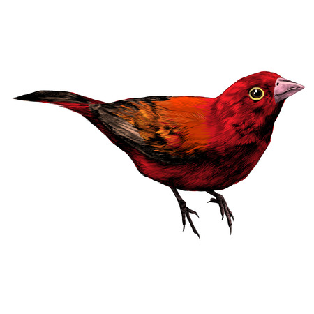 Bird amaranth sketch graphic illustration. Ilustracja