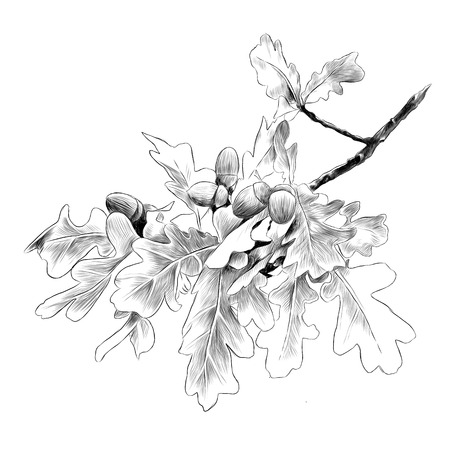 Oak branch sketch graphic illustration. Stock Illustratie