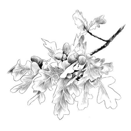 Oak branch sketch graphic illustration. Illustration