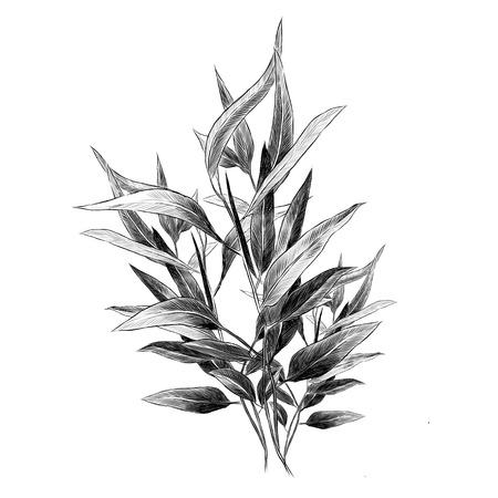 Eucalyptus leaves sketch graphic illustration. Vettoriali