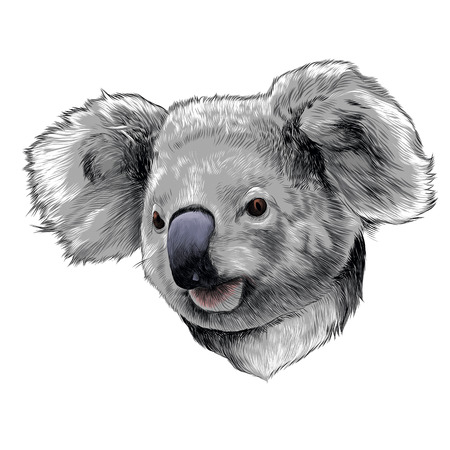 Koala head colored drawing sketch graphic illustration.