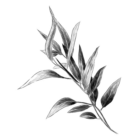 Eucalyptus leaves sketch graphic illustration. Çizim
