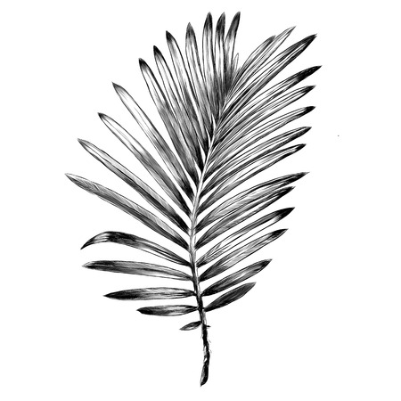 Branch of a palm tree sketch graphic design.