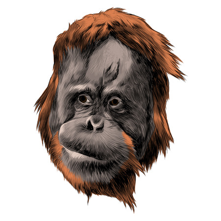 orangutan monkey sketch  graphics head colored drawing