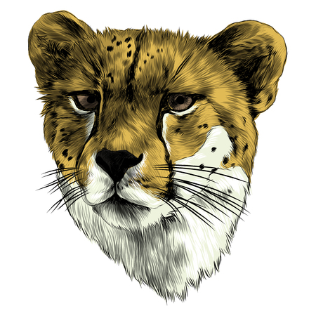 Cheetah head sketch vector graphics color picture Illustration